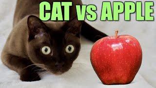 CAT SLAPS!! Burmese Cat vs Apple! Funny Fast Cat Slaps!
