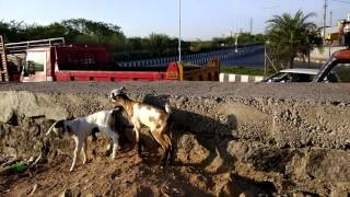 funny  goats | Baby goats playing | goat | gots | cute | goat form | chèvre |
