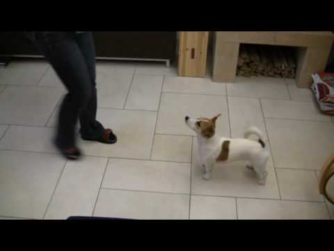 Mayla Jack Russell crazy and smart tricks