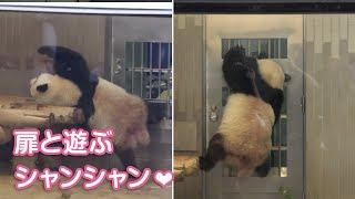 2019/8/11 (1) 扉と遊ぶシャンシャン♪ 美味しいもの出てくるね Giant Panda Xiang Xiang