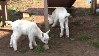 ヤギの赤ちゃん誕生ーのと里山海道・別所岳サービスエリア
