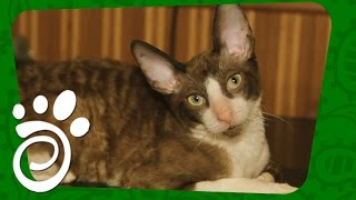 Порода кошек Корниш Рекс (Часть Первая). Все О Домашних Животных