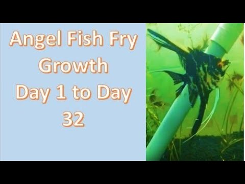 Angel Fish Fry Growth Stage Day 1 To 32 Days
