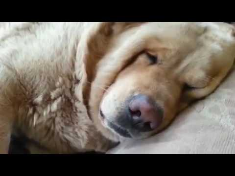 Когда собака храпит громче хозяина