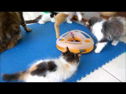 Mitos Kucing Jantan 3 Warna
