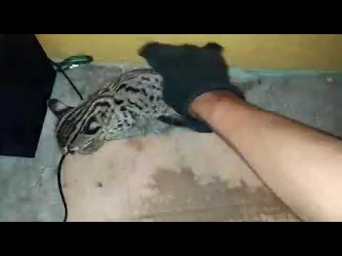 Menjinakan anak macan akar / kucing hutan / blacan / leopard cat