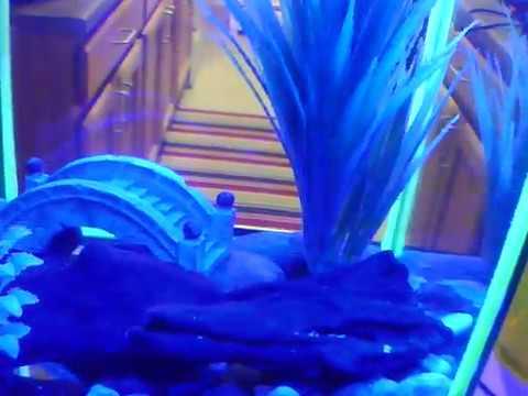 aquatic dwarf frogs clean tank