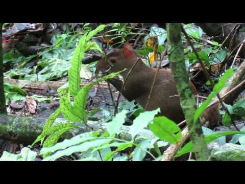 Central American Agouti eating - Barro Colorado Island, Gatun Lake (Panama)