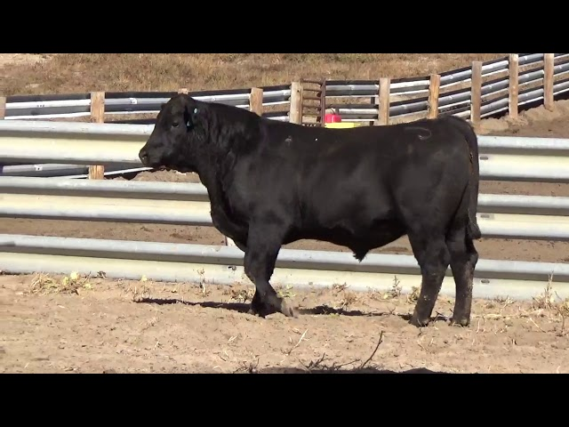 Connealy Angus Lot 15
