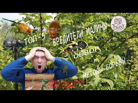 Вредители малины ТОП-5 !  Кого, когда и чем уничтожать!