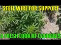 Outdoor Cannabis Growing.  Trellising Huge outdoor Cannabis Plants. Smoke a Dab. Smoke a joint.