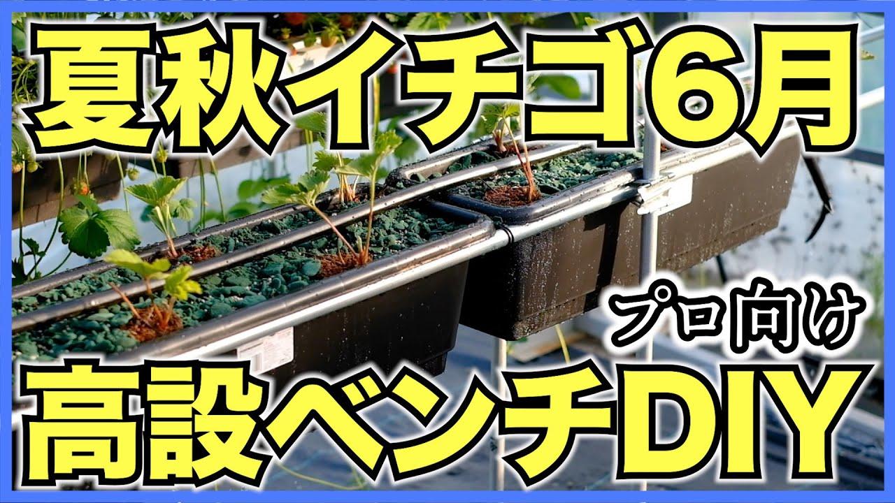 夏秋イチゴ栽培6月の生育を紹介!新しい高設ベンチをDIYで設置してアクアフォームで試験栽培【夏いちごを収穫して試食】