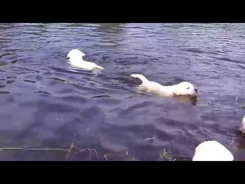 Beautiful Labrador Puppies First Time Swimming 7 Weeks