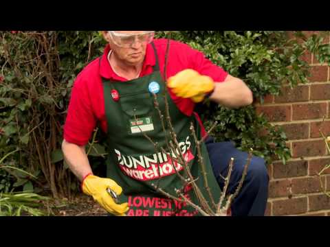 How To Prune Roses - D.I.Y. At Bunnings