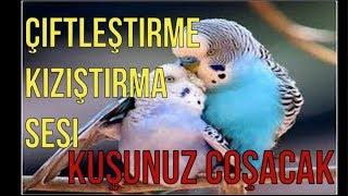 :Dinlet Çiftleşsin ♫ Muhabbet Kuşu Çiftleştirme Sesi.Kızıştırma sesi.Eşleştirme sesi.Muhabbet Kuşu