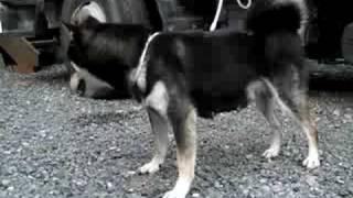 柴犬専門ブリーダー・犬舎の子犬販売 柴犬.net.