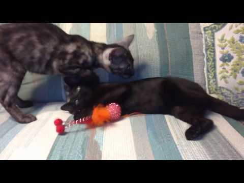Charcoal Bengal kitten for sale Pushkin from Cataristocrat Cattery