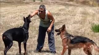 Dobermann e Pastore tedesco addestramento