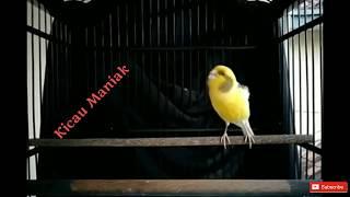 Kenari Af Bon Kuning Gacor Cocok Untuk Masteran
