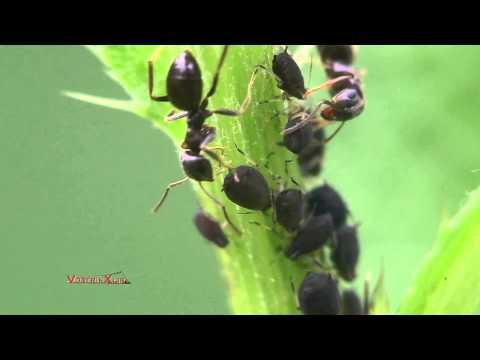 Тля дойные коровы муравьев