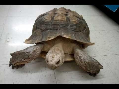 Turtle walking around in Ace Hardware Store.