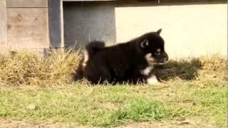 柴犬専門ブリーダー・犬舎の子犬販売 柴犬.net ID:1386 http://www.shib...
