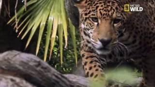 L'incroyable chasse du jaguar