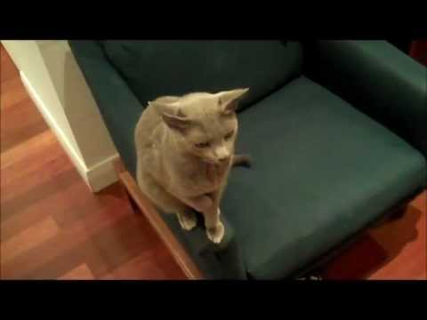 Russian blue cat opens door on his own