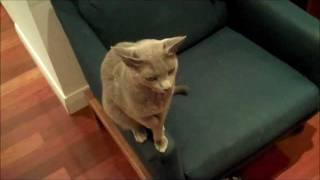 Russian blue cat opens door on his own