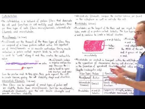 Microfilaments, Intermediate Filaments and Microtubules