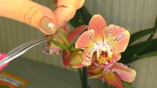 Как НАРАСТИТЬ КОРНИ Орхидеи Как РАСКУКЛИТЬ КОРНИ перед ПОСАДКОЙ В ГРУНТ РАЗБИРАЕМ ЛЕКО ФАНТАСТИК