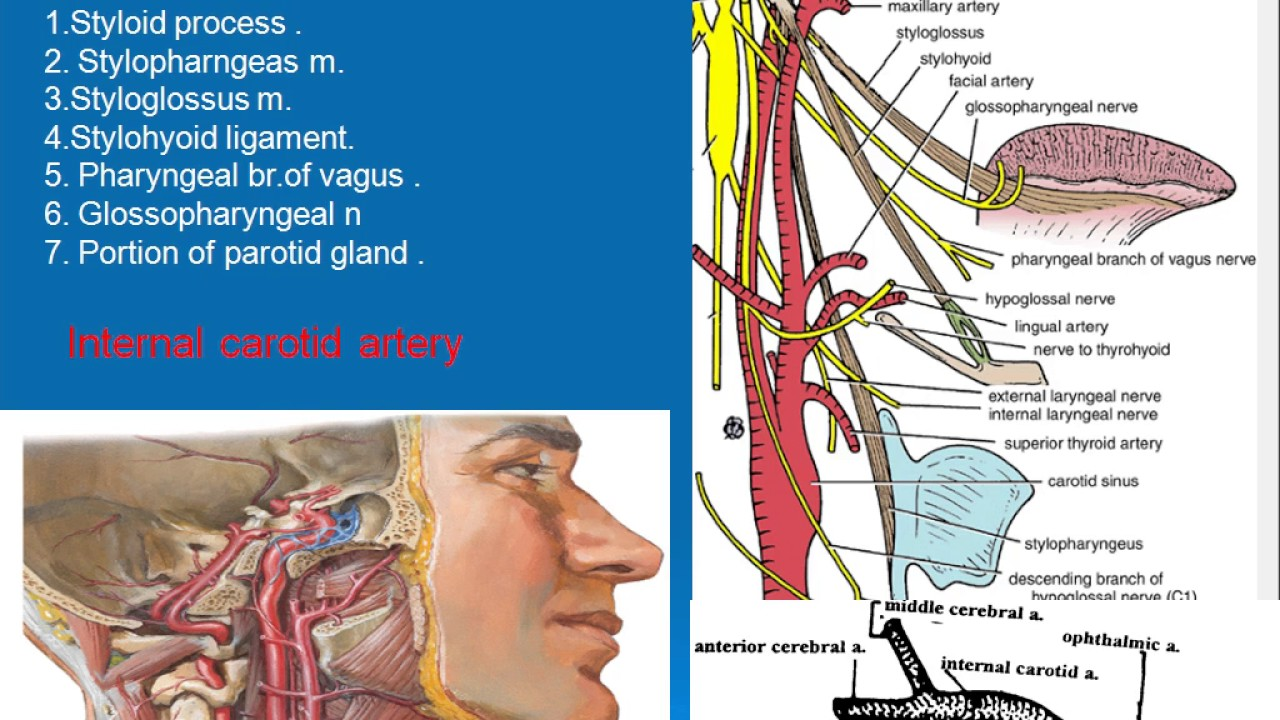 62 Internal carotid artery - YouTube