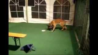 K9 Sprengstoffspürhunde Training Explosive Detection Dog