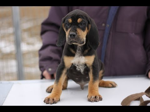 Cute little hound babies.  Black and Tan Beagle cross puppies