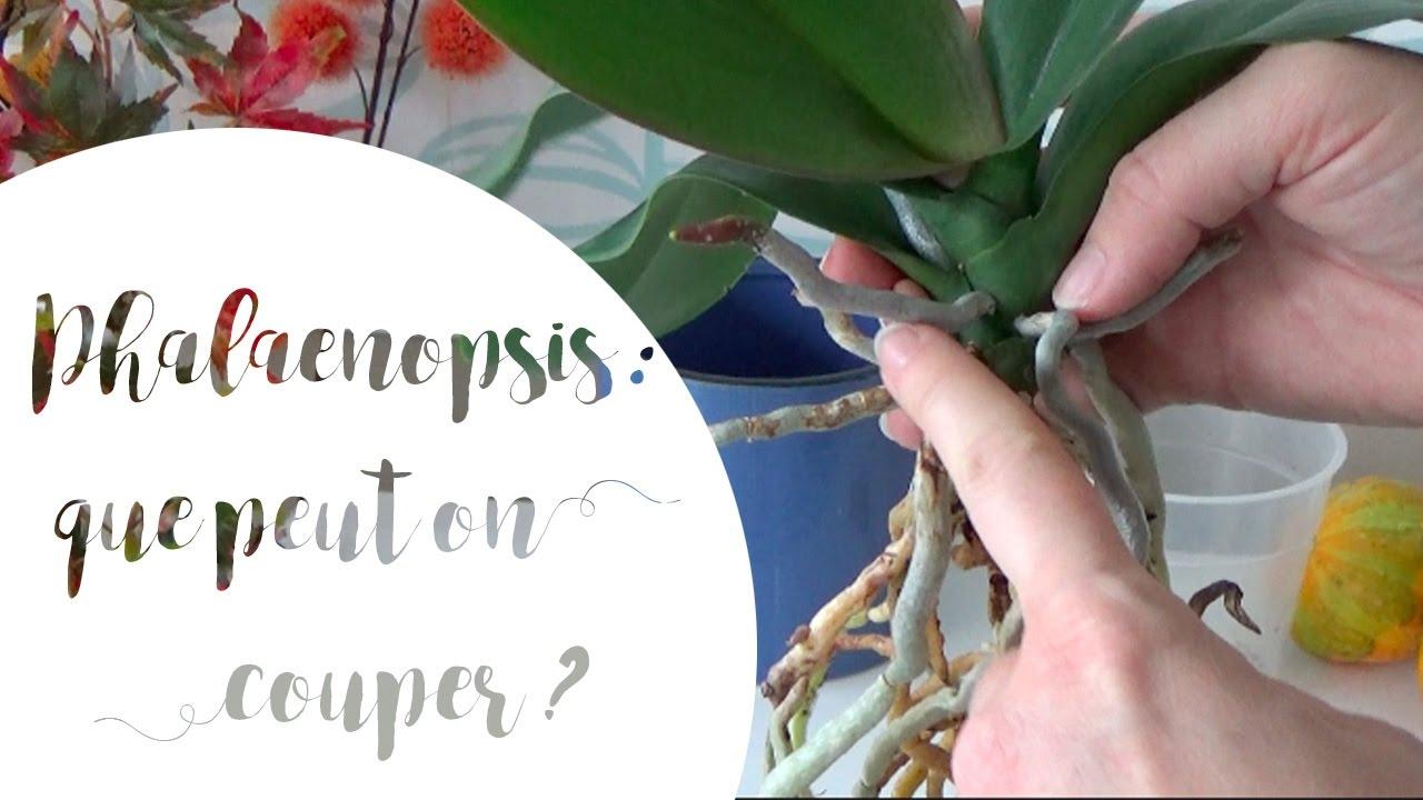 Comment Planter Une Orchidée que faut-il couper lorsqu'on rempote un phalaenopsis ?