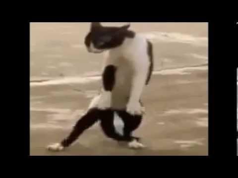 Gatinho Dançando Funk