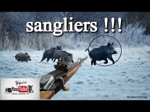 chasse aux sangliers 2016/2017 tirs en pagaille