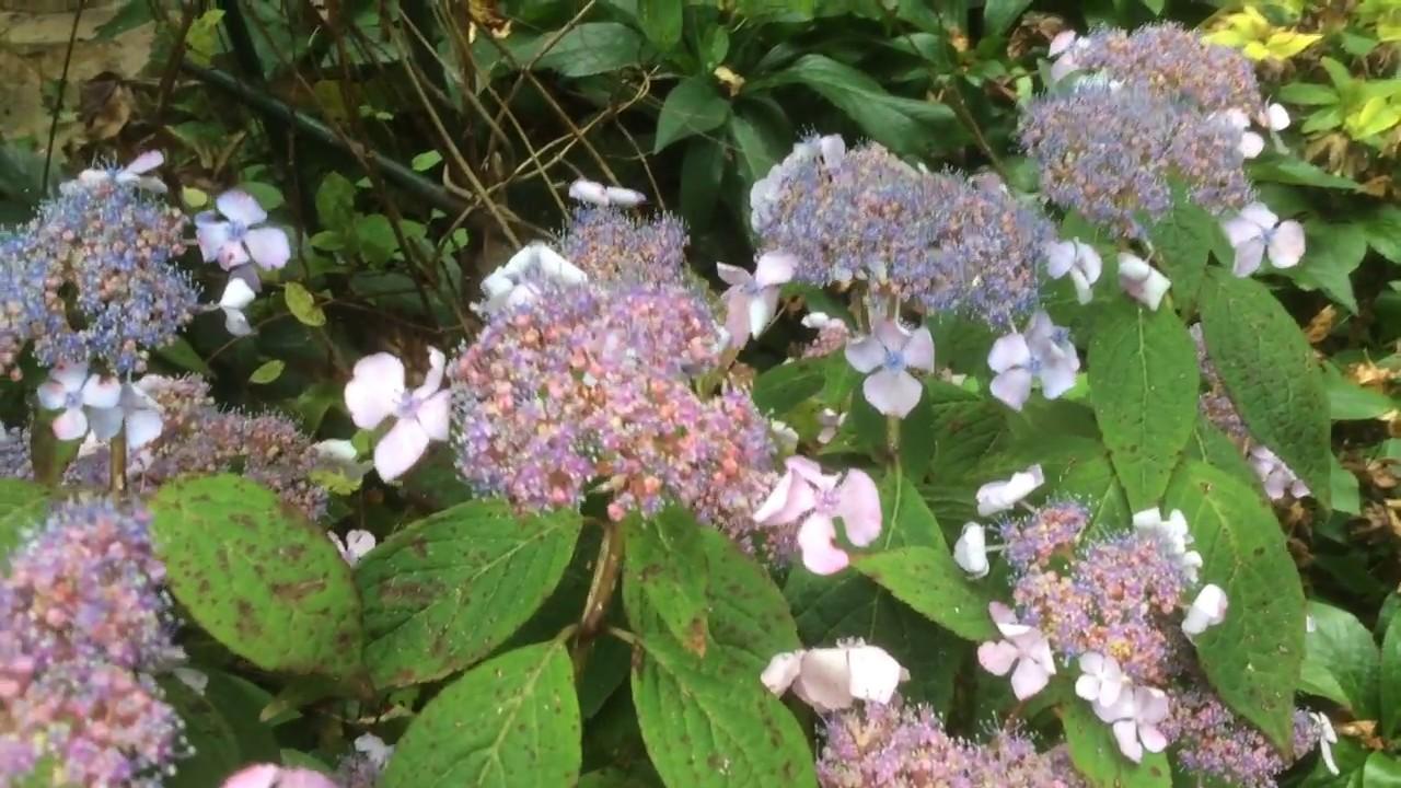 Hortensia A Tete Plate Hydrangea Macrophylla Un Nuage De Fleur