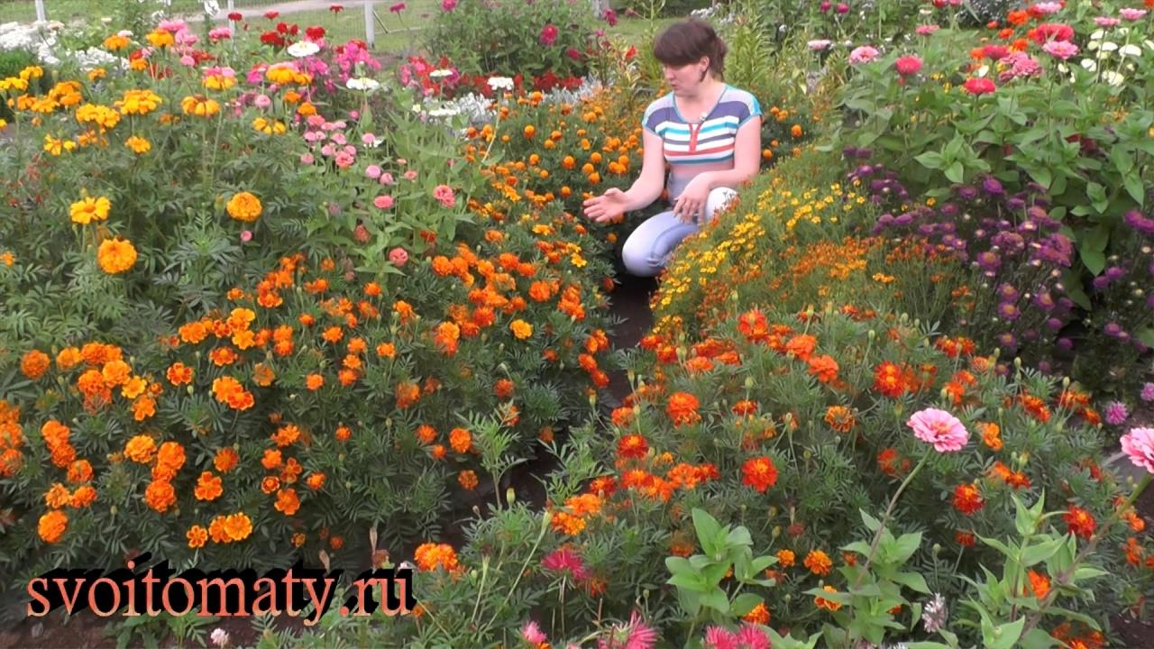Бархатцы: выращивание и уход