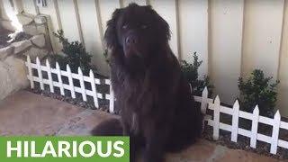 Dog breaks gate, acts like nothing happened