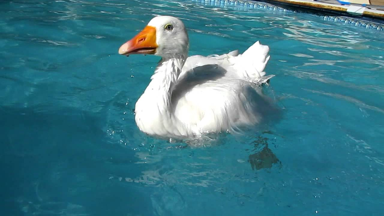 Oliver Diapered Indoor Goose Swimming In Pool Youtube
