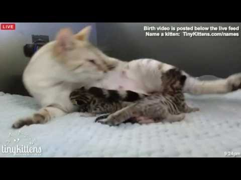 Tiny Kittens Shelly saves kittens from umbilical flingings