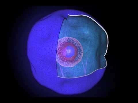 plant cell orgin nucleus - youtube, Sphenoid