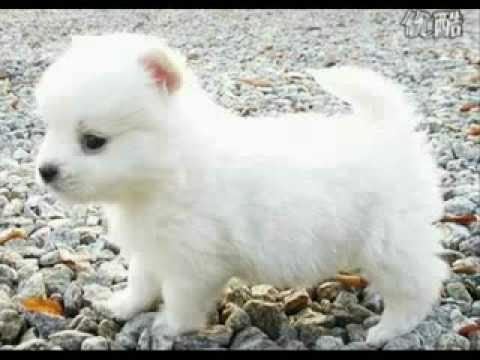 Cutest Puppy Ever Little Cute Snow Ball Maltese Youtube
