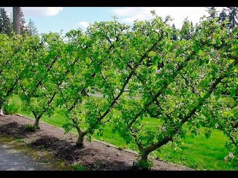 One Way To Espalier Your Fruit Trees Youtube