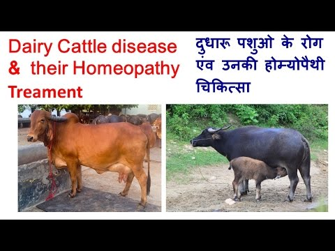 Dairy Cattle disease & their Homeopathy Treament