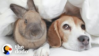 Beagle And Bunny Are Basically Sisters | The Dodo
