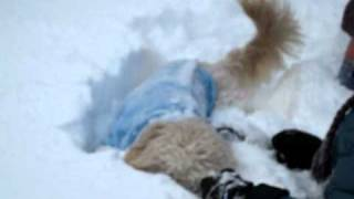 Bella the Golden Doodle dog hops in the deep snow