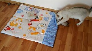 Тайская кошка Юрата не смогла унести испугавшихся котят в гнездо, пришлось помочь! Тайские кошки   э