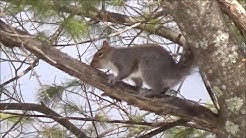 Squirrels Climbing and Jumping on Trees
